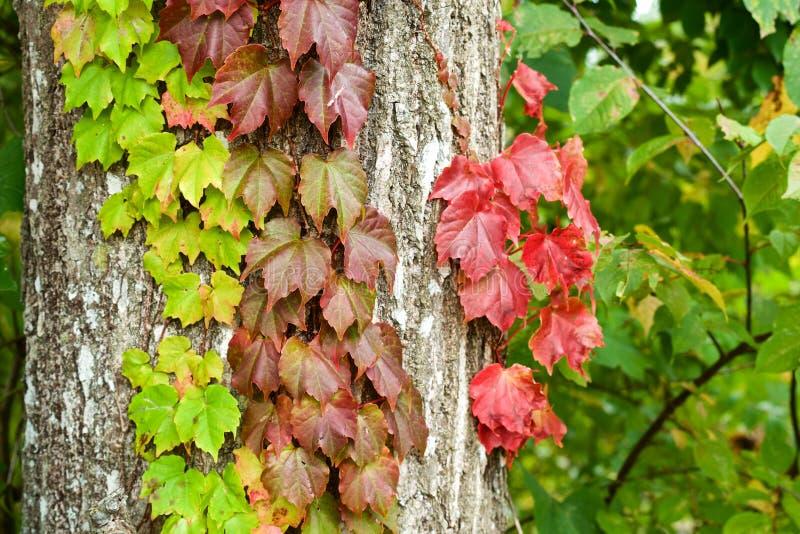 Foglie dell'edera di autunno fotografia stock