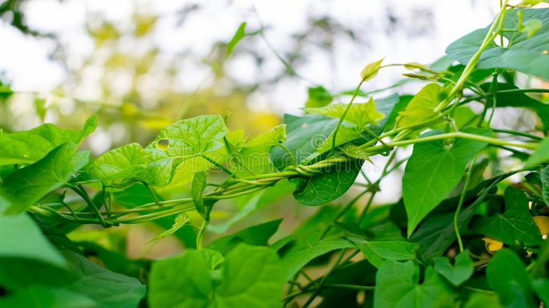 Foglie dell'edera verde fresca Foglie verdi dell'albero dell'edera su verde del fondo Primo piano fotografie stock libere da diritti