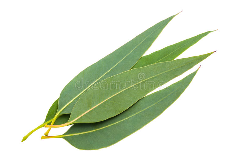 Foglie dell'eucalyptus fotografie stock