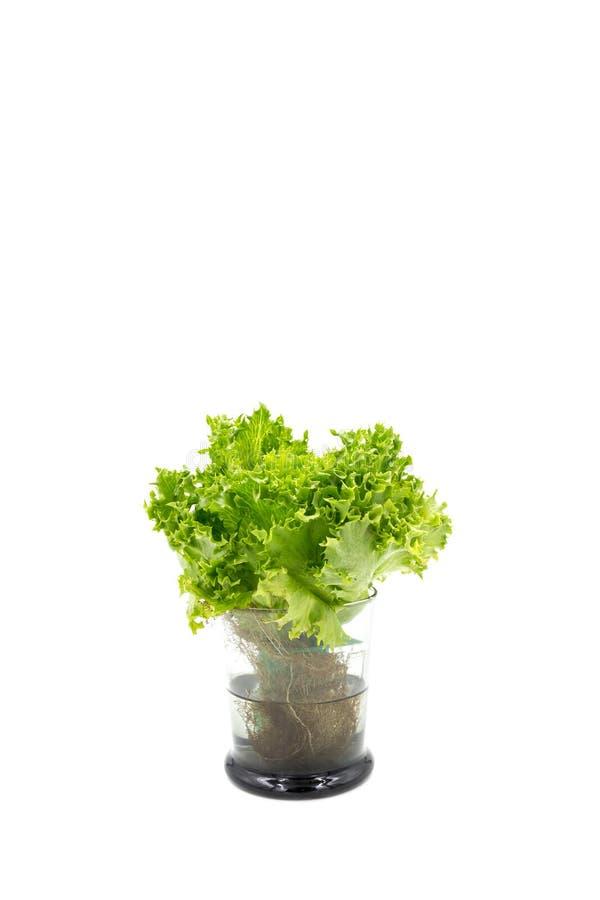 Foglie dell'insalata in vetro fotografia stock
