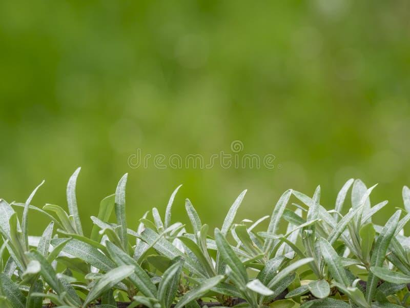 Foglie dell'olivello spinoso fotografie stock libere da diritti
