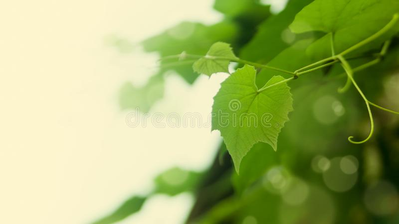 foglie dell'uva fotografia stock