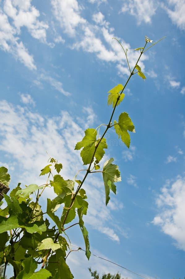 Foglie dell'uva contro il cielo fotografie stock libere da diritti