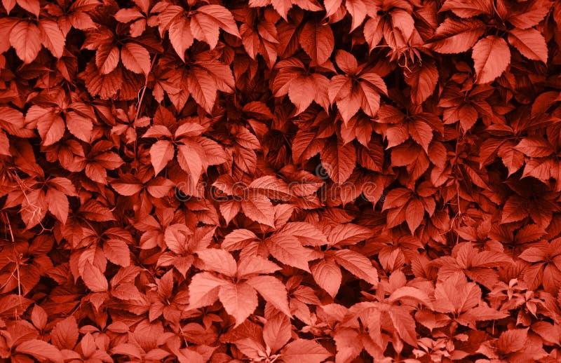 Foglie dell'uva selvaggia nei colori di corallo fotografia stock