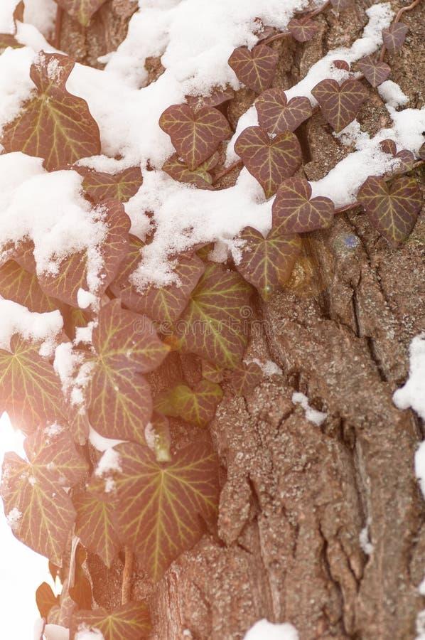 Foglie dell'uva selvaggia sull'albero nell'inverno sotto la neve fotografia stock