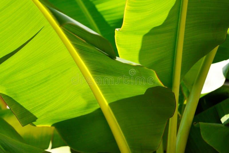 Foglie della banana fotografie stock