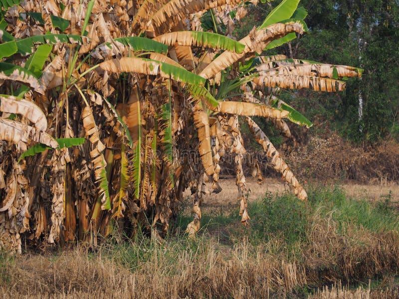 Foglie della banana della banana bruciate immagine stock