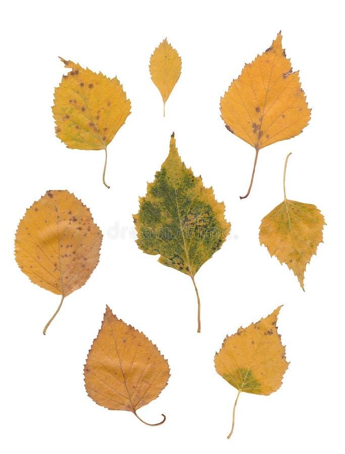 Foglie della betulla isolate sopra bianco fotografie stock