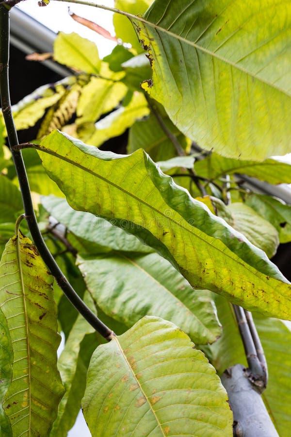 Foglie della foglia dell'albero lungo del mulat di john di surinamensis di polygonaceae di triplaris dal Surinam immagini stock