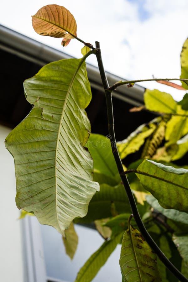 Foglie della foglia dell'albero lungo del mulat di john di surinamensis di polygonaceae di triplaris dal Surinam fotografia stock libera da diritti