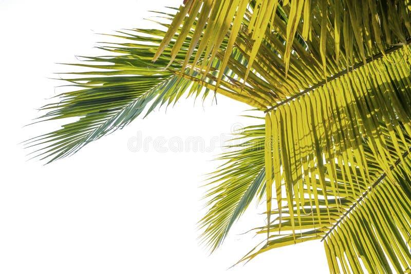 Foglie della noce di cocco dello sfondo naturale immagine stock