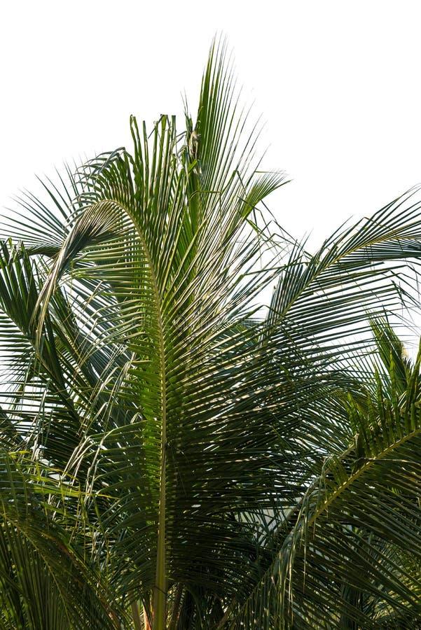Foglie della noce di cocco dello sfondo naturale fotografia stock