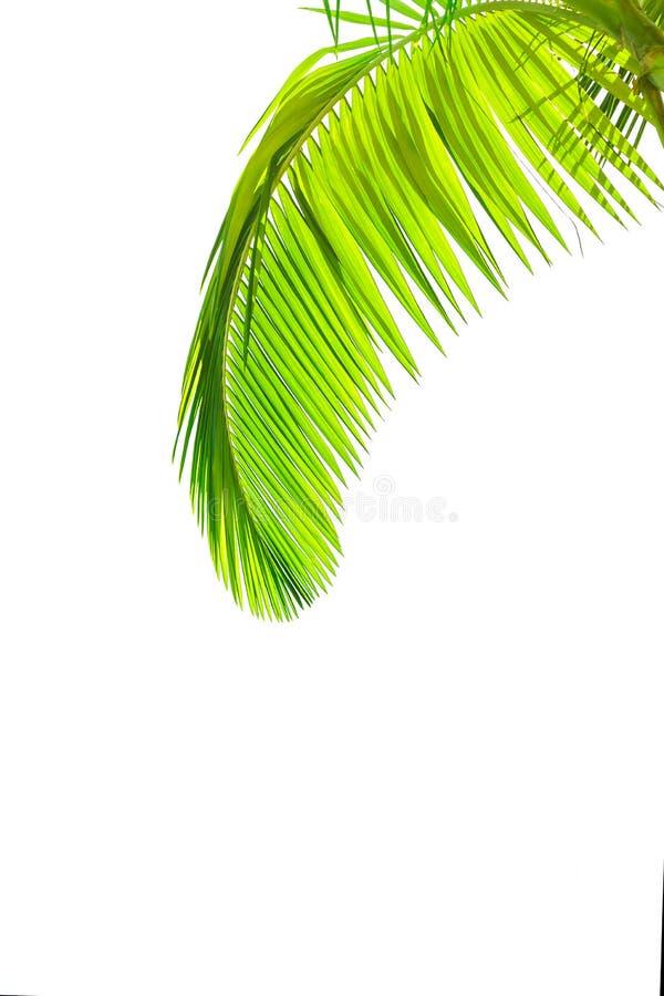 Foglie della palma [ immagini stock