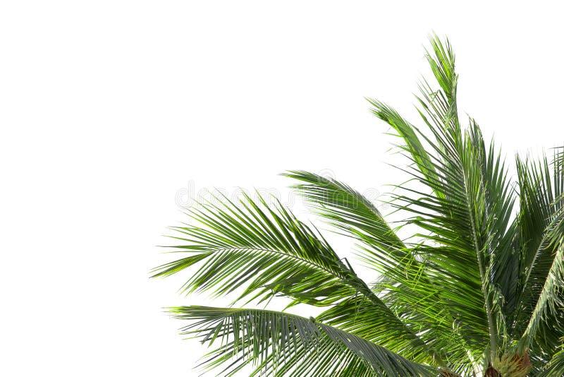 Foglie della palma o della noce di cocco isolata su bianco fotografie stock libere da diritti