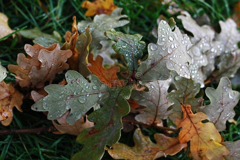 Foglie della quercia con le gocce di pioggia fotografia stock