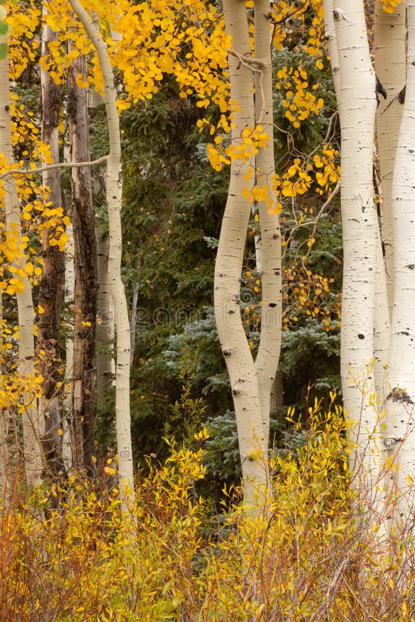 Foglie della tremula e cespugli gialli luminosi con i tronchi di albero bianchi snelli ed il verde scuro degli alberi attillati n fotografie stock