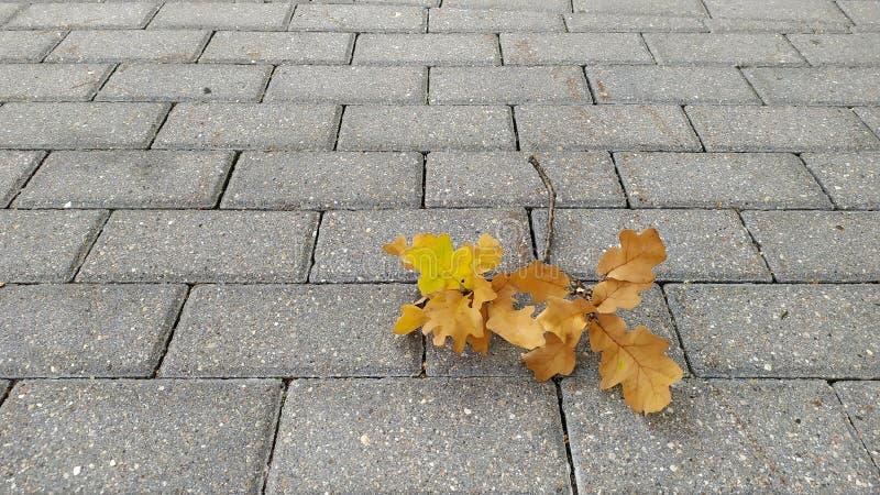 Foglie di acero asciutte ingiallite sul primo piano di pietra grigio del marciapiede Fogliame di autunno Caduta del foglio immagine stock
