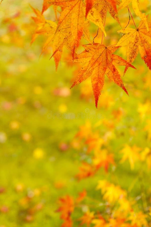 Foglie di acero in autunno sul fondo verde del muschio fotografie stock