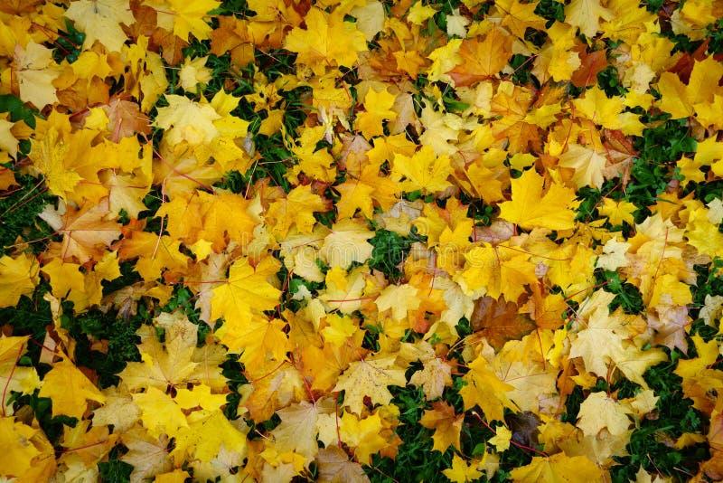 Foglie di acero cadute di autunno alla terra fotografia stock libera da diritti