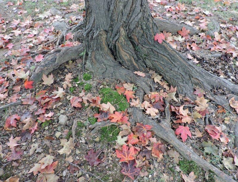Foglie di acero cadute variopinte intorno al tronco di albero fotografia stock