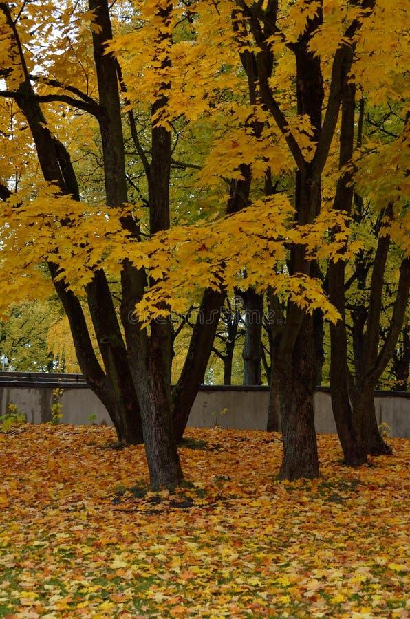 Foglie di acero colorate autunno fotografia stock libera da diritti