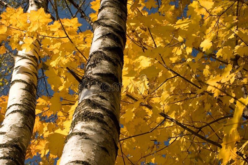 Foglie di acero di autunno immagini stock libere da diritti