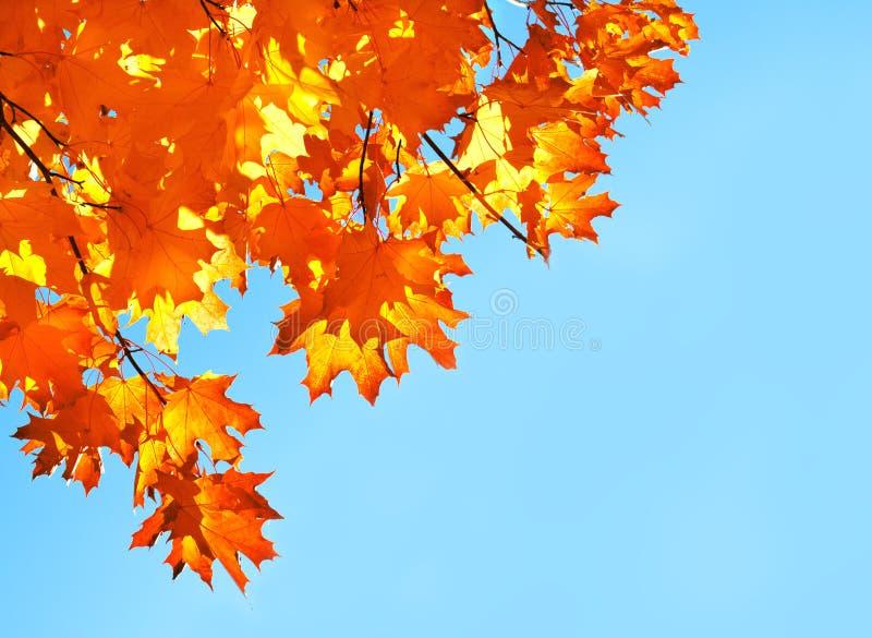 Foglie di acero di autunno e fondo del cielo blu fotografie stock
