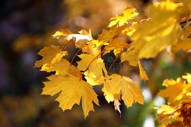 Foglie di acero gialle fotografie stock libere da diritti