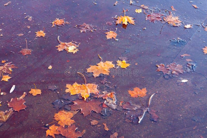 Foglie di acero gialle cadute in una pozza Bella priorità bassa di autunno immagini stock libere da diritti