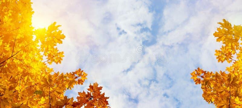 Foglie di acero gialle sui precedenti del cielo soleggiato di autunno Fondo del fogliame di autunno Vista panoramica fotografie stock libere da diritti