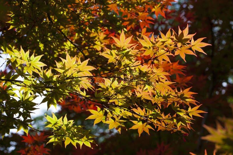 foglie di acero giapponese della molla fotografia stock