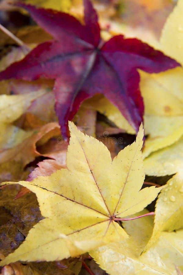 Foglie di acero giapponesi fotografia stock libera da diritti