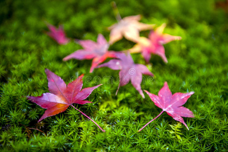 Foglie di acero giapponesi gialle e rosse cadute su terra muscosa verde fotografia stock