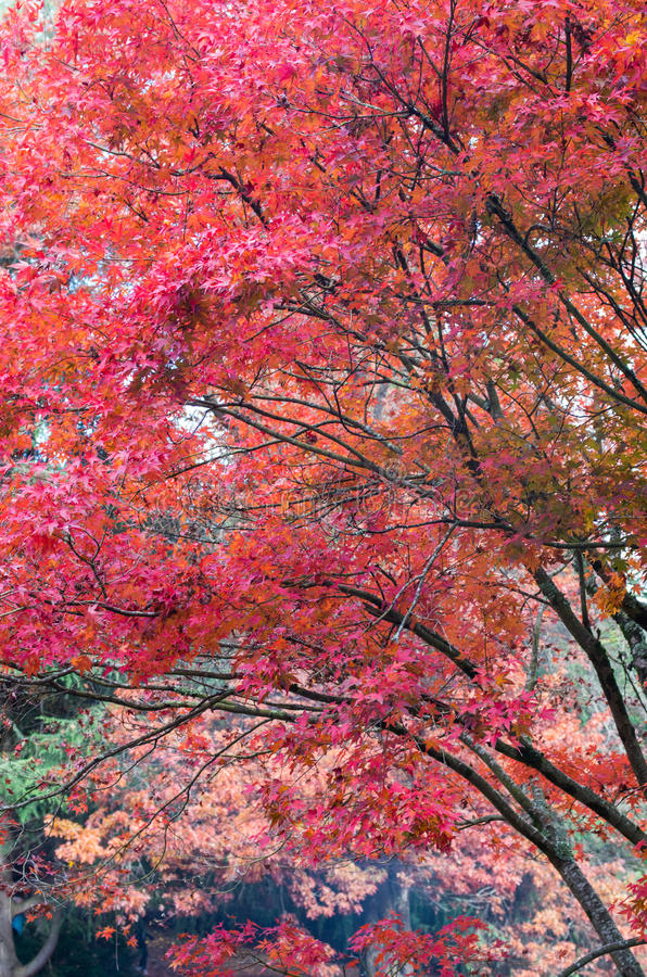 Foglie di acero giapponesi rosse nelle gamme di Dandenong immagini stock libere da diritti