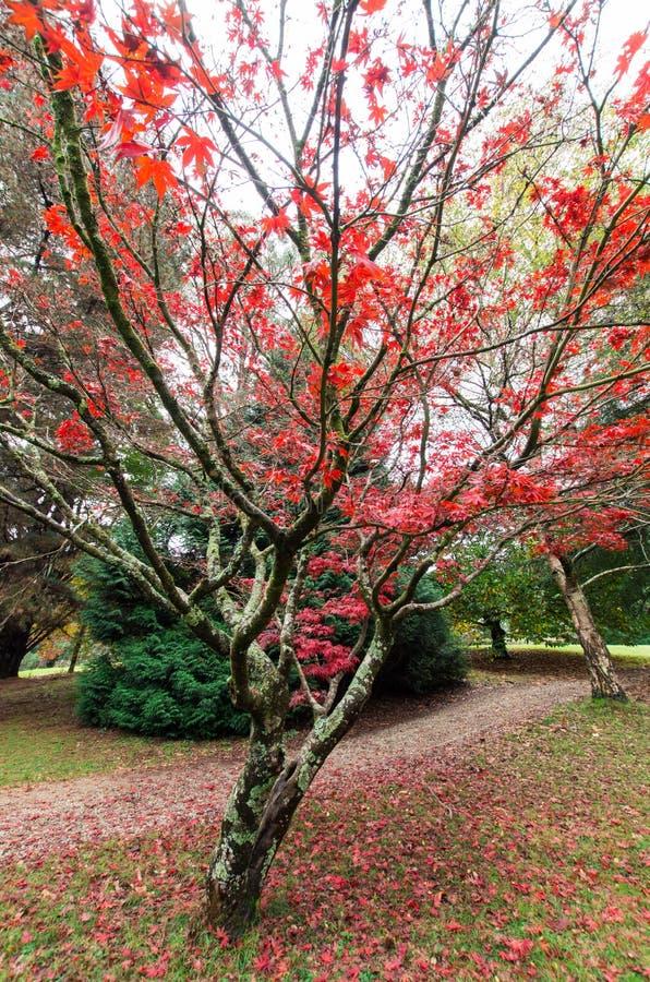 Foglie di acero giapponesi rosse nelle gamme di Dandenong fotografia stock