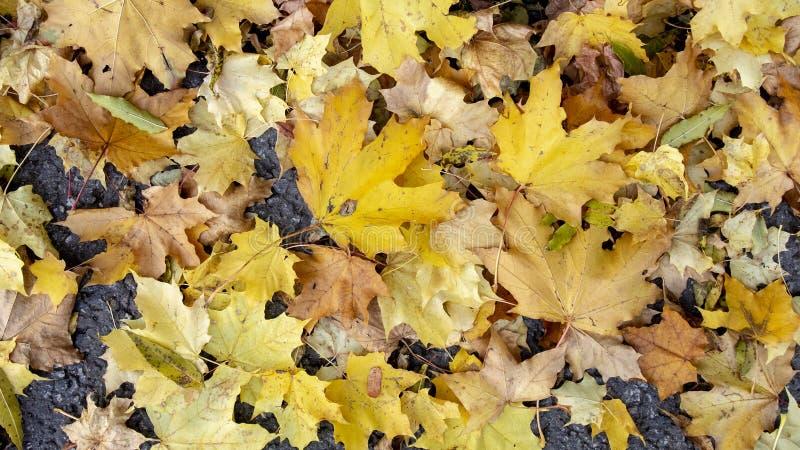 Foglie di acero pittoresche di autunno dei colori rossi, gialli, arancio sulla terra Foto colourful orizzontale per fondo, insegn fotografia stock libera da diritti
