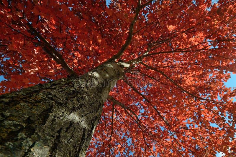 Foglie di acero rosse in autunno immagine stock libera da diritti
