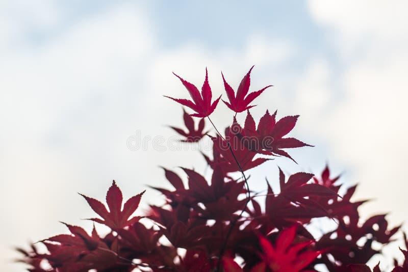Foglie di acero rosse con fondo vago cielo blu, fotografia stock