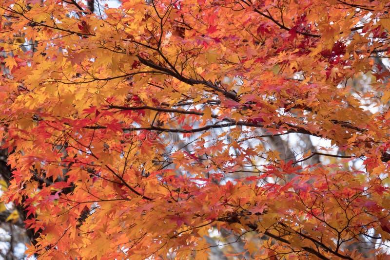 Foglie di acero rosse e gialle sull'albero nella stagione di autunno fotografia stock