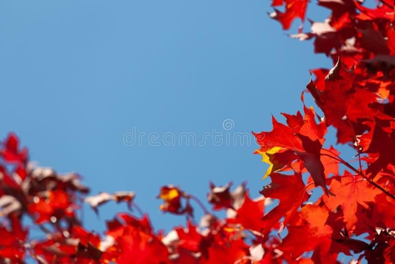 Foglie di acero rosse vive di autunno contro cielo blu fotografie stock