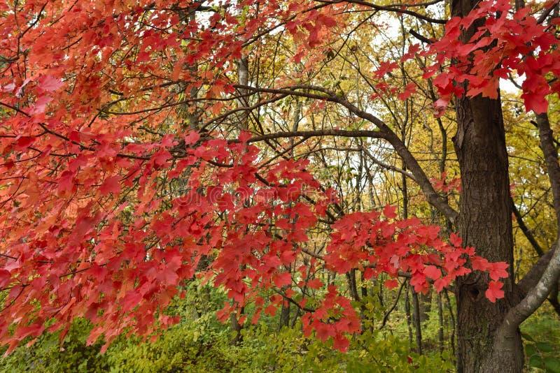 Foglie di acero rosso, autunno immagini stock libere da diritti
