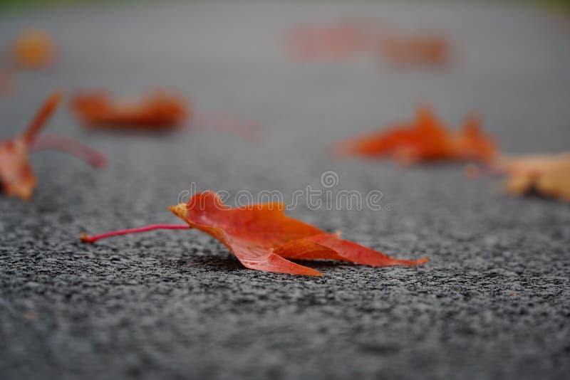 Foglie di acero su pavimentazione immagini stock