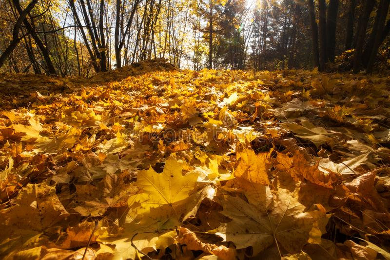 Foglie di acero su terra Fogliame fertile Fondo di caduta Foresta piena di sole immagini stock libere da diritti
