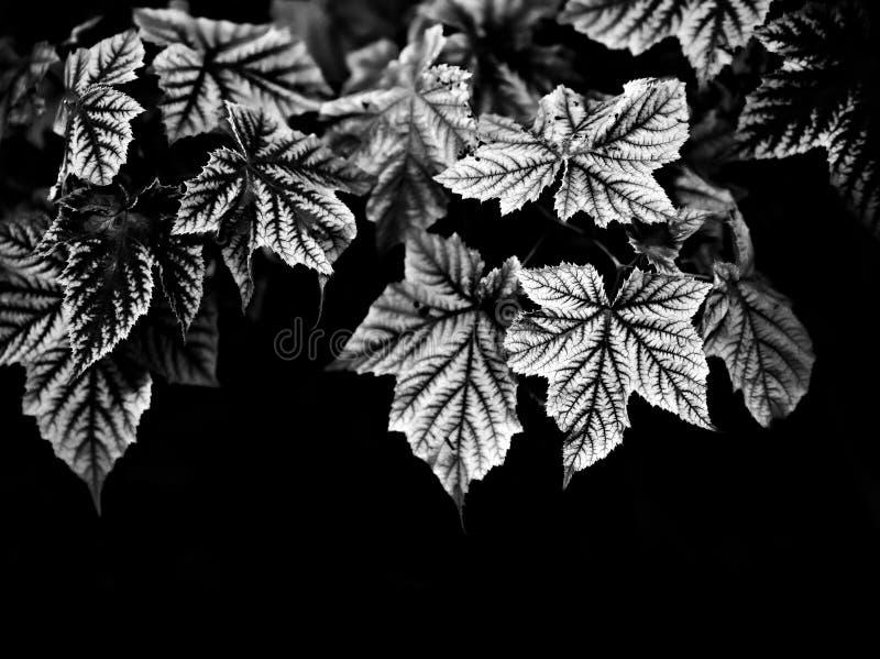 Foglie di acero su un fondo scuro - in bianco e nero immagini stock