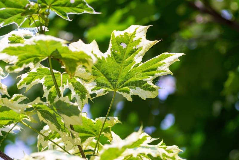 Download Foglie Di Acero Su Un Fondo Verde Indistinto Immagine Stock - Immagine di struttura, paesaggio: 56877231
