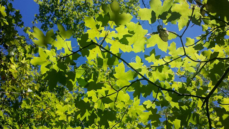 Foglie di acero verde intenso modellate contro un chiaro cielo blu in primavera immagini stock