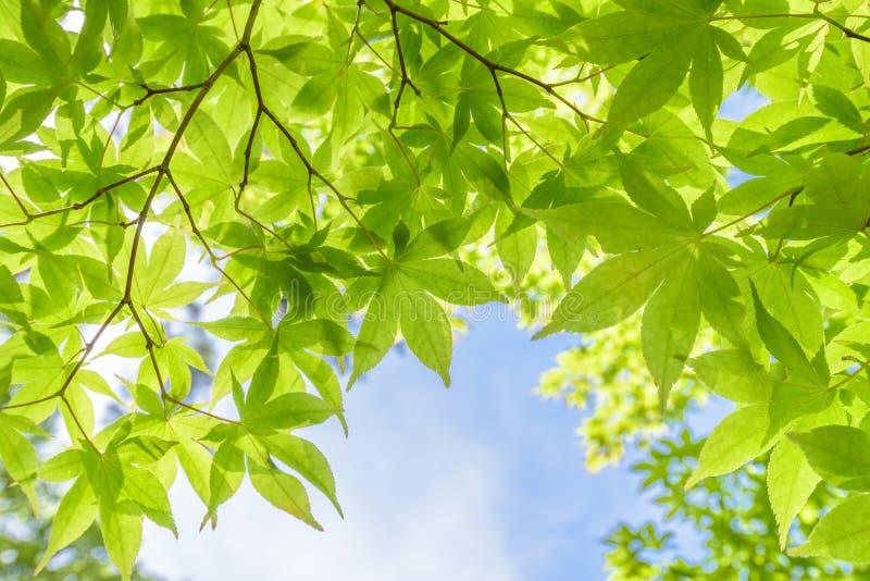 Foglie di acero verdi fresche nella luce del giorno immagine stock