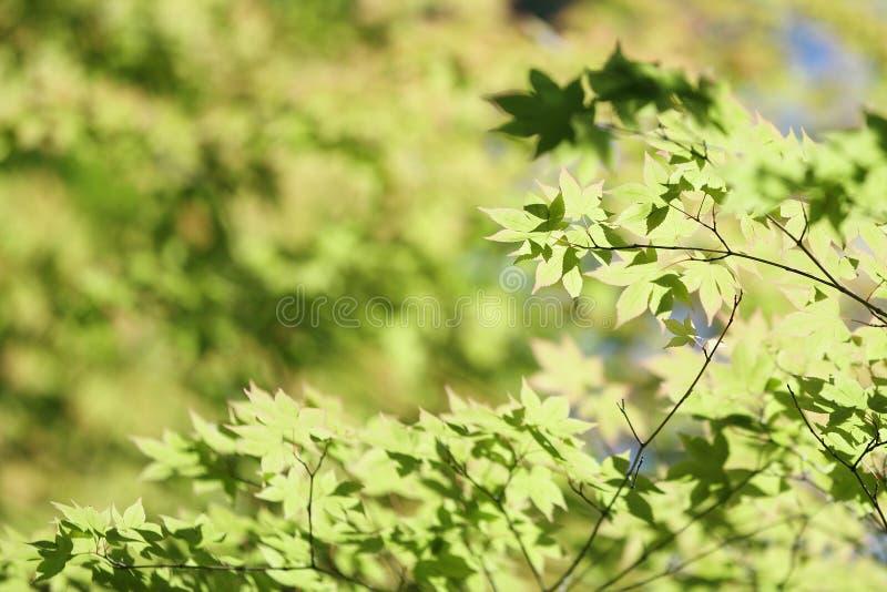 Foglie di acero verdi fresche sul ramo con luce del giorno fotografie stock libere da diritti