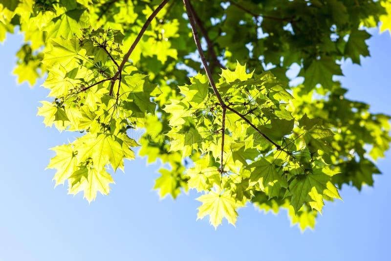 Foglie di acero verdi nel sole fotografia stock