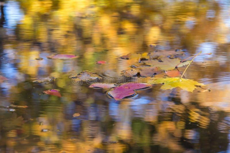 Foglie di Autumn Background Season Change Concept che galleggiano nella pozza immagine stock libera da diritti